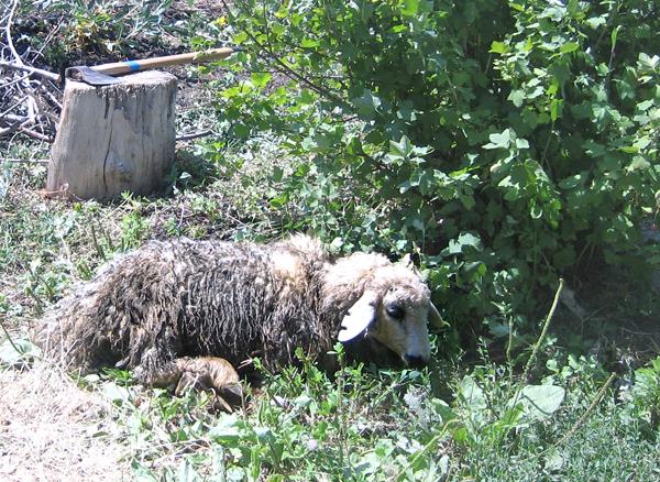 Khorovats sheep