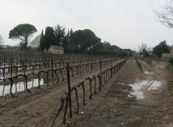 Sodden vineyard