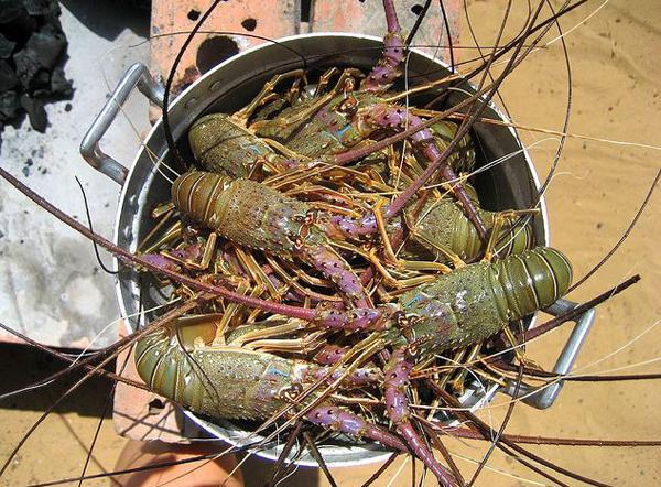 Atlantic rock lobster
